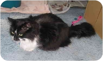 Domestic Longhair Cat for adoption in Laurel, Maryland - Static