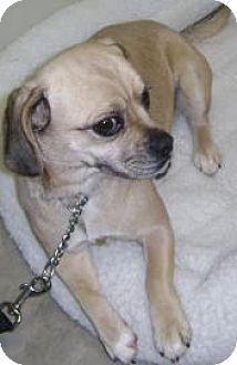 Pug/Beagle Mix Dog for adoption in Knoxville, Iowa - Princess