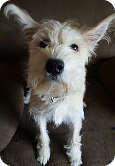 Schnauzer (Standard)/Yorkie, Yorkshire Terrier Mix Puppy for adoption in Oakland, Michigan - Murphy