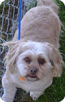 Shih Tzu Mix Dog for adoption in Fruit Heights, Utah - Sam