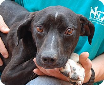 Beagle/Whippet Mix Dog for adoption in Las Vegas, Nevada - Santino