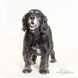 Spaniel (Unknown Type) Mix Dog for adoption in Naperville, Illinois - Dutchess
