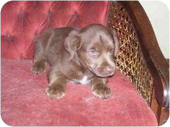 Australian Shepherd Mix Puppy for adoption in Millerton, Pennsylvania - Cocoa