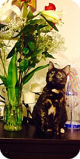 Domestic Shorthair Cat for adoption in Marlton, New Jersey - Maggie
