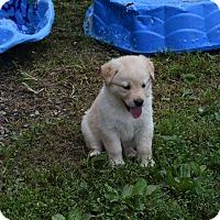 Adopt A Pet :: Brewer - Greeneville, TN