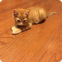 Adopt A Pet :: Kori - Yukon, OK
