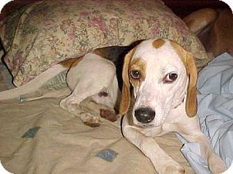 Beagle Dog for adoption in Cantonment, Florida - Monroe
