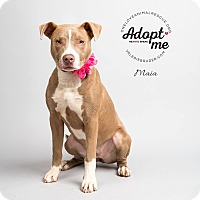 Adopt A Pet :: Maia - Mount Laurel, NJ