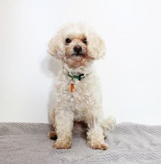Poodle (Miniature)/Terrier (Unknown Type, Small) Mix Dog for adoption in Santa Cruz, California - Silver