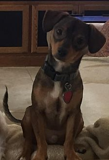 Dachshund/Chihuahua Mix Dog for adoption in Spring, Texas - Russell