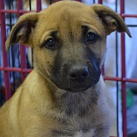 Adopt A Pet :: Leia - Pahrump, NV