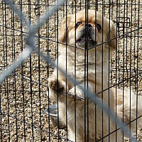 Adopt A Pet :: Howie - Wyanet, IL
