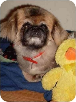 Pekingese Dog for adoption in Foster, Rhode Island - Al (with Zachary)