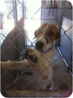 Foxhound Mix Dog for adoption in Haughton, Louisiana - Sabine kill shelter (Sadie)