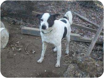 Border Collie Mix Dog for adoption in Spring Valley, New York - Mr Man