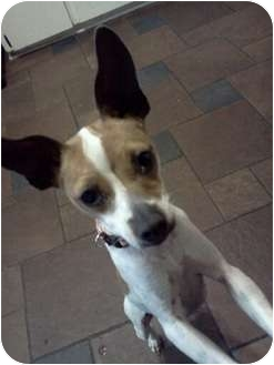 Rat Terrier Mix Dog for adoption in Cleveland, Oklahoma - Cricket