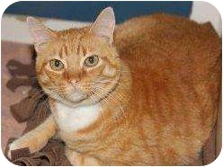 Domestic Shorthair Cat for adoption in Houston, Texas - Cowboy