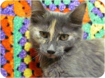 Domestic Longhair Kitten for adoption in Jackson, Michigan - Dazzler