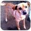 Photo 2 - Chihuahua Mix Dog for adoption in Fowler, California - Mr. Sharpe