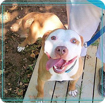 American Pit Bull Terrier/American Staffordshire Terrier Mix Dog for adoption in Sacramento, California - Brodie saved from death