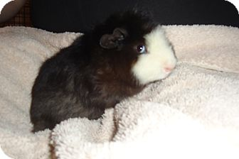 Guinea Pig for adoption in Grand Rapids, Michigan - Angus