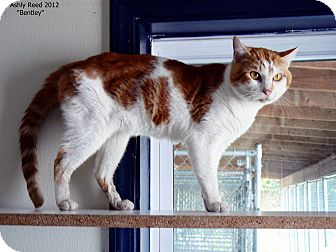 Domestic Shorthair Cat for adoption in St. James, Missouri - Bentley