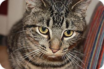 Domestic Shorthair Cat for adoption in Little Falls, New Jersey - Dunkin (LE)