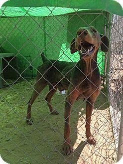 Doberman Pinscher Dog for adoption in Alamogordo, New Mexico - Margaret