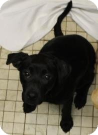 Labrador Retriever Mix Dog for adoption in West Des Moines, Iowa - Grace