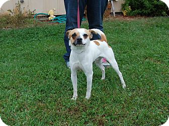 Chihuahua/Jack Russell Terrier Mix Dog for adoption in North Judson, Indiana - Elmer
