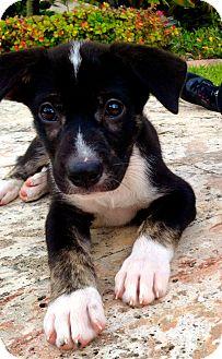 Husky/German Shepherd Dog Mix Puppy for adoption in Miami, Florida - Chip