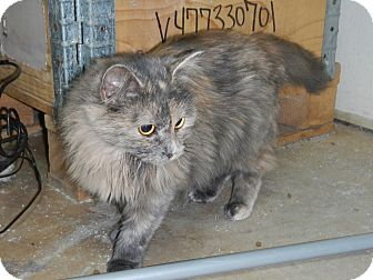 Maine Coon Cat for adoption in Charlotte, North Carolina - Maria