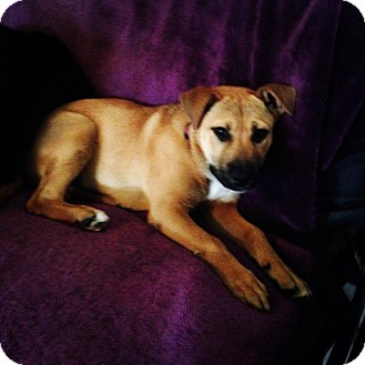 German Shepherd Dog Mix Puppy for adoption in El Segundo, California - Ginger