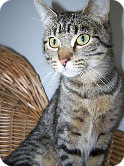 Domestic Shorthair Cat for adoption in China, Michigan - Cappy