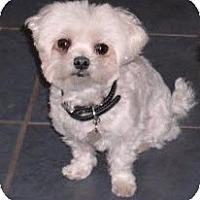 Adopt A Pet :: Luna - Cotati, CA