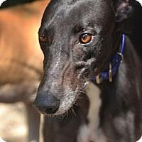 Adopt A Pet :: Star - Pearl River, LA