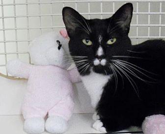 Domestic Shorthair Cat for adoption in Hampton, Virginia - Kiki