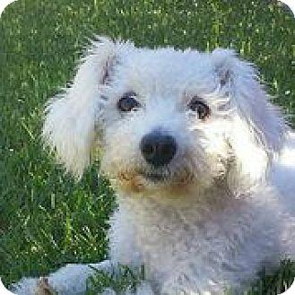 Bichon Frise Mix Dog for adoption in Austin, Texas - Desi