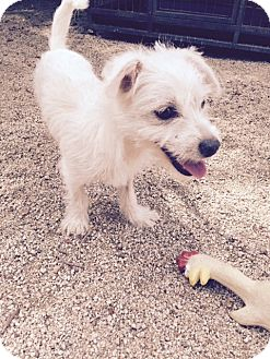 Westie, West Highland White Terrier/Jack Russell Terrier Mix Puppy for adoption in North Hollywood, California - Nene