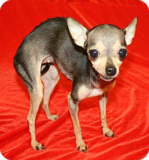 Chihuahua Mix Dog for adoption in Jackson, Michigan - Tiny