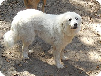 Great Pyrenees Dog for adoption in Old Town, Florida - Breezie