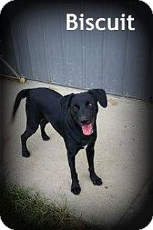 Labrador Retriever Mix Dog for adoption in Greenville, Kentucky - BISCUIT