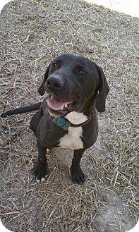 Hound (Unknown Type)/Rhodesian Ridgeback Mix Dog for adoption in Dover, Tennessee - STEWART