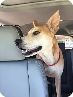 Carolina Dog Mix Dog for adoption in Cranston, Rhode Island - Ranger(located in TX)