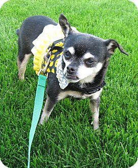 Chihuahua Dog for adoption in Dayton, Ohio - Chiquita-Fajita - Columbus, OH