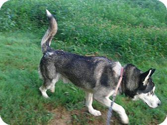 Alaskan Malamute Mix Dog for adoption in Augusta County, Virginia - Kermit