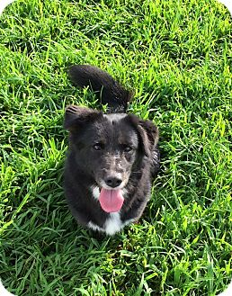 Border Collie/Corgi Mix Dog for adoption in Russellville, Kentucky - Fiona