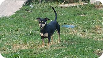 Miniature Pinscher/Dachshund Mix Dog for adoption in Ashville, Ohio - Dolly