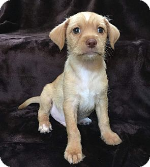 Yorkie, Yorkshire Terrier/Tibetan Terrier Mix Puppy for adoption in Concord, California - Scooby-Doo