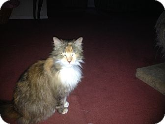 Calico Cat for adoption in Sterling Hgts, Michigan - Jolean awesome personality